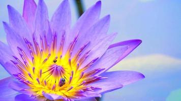 api su un fiore di loto viola video