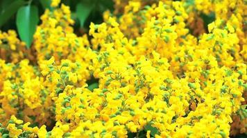 Bienen und Burma Padauk Blumen video