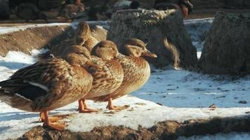 Gadwall Gray Ducks