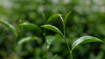folhas de chá sopradas pelo vento