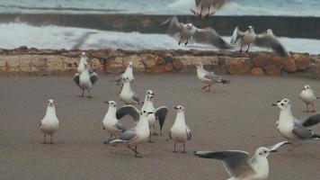 um bando de gaivotas video