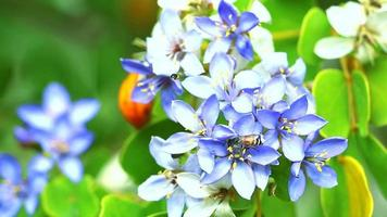 abelha em flores desabrochando azuis e brancas
