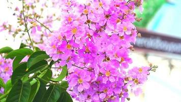 Lagerstroemia speciosa flores rosas floreciendo