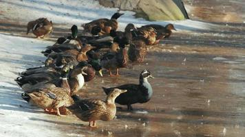 Ducks stand in the snow
