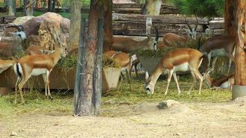 animais alimentando veados
