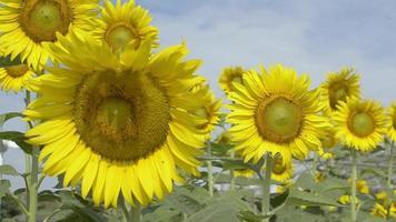 girasoles florecientes bajo la luz del sol con abejas sin aguijón contra el cielo azul. video