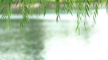hojas de sauce llorón junto a un río
