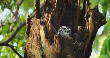 Owls in a hollow tree staring with big eyes in Thailand, 4K DCI video