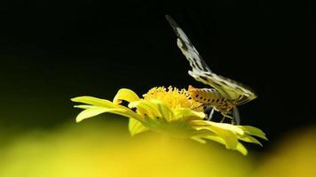 un papillon aux ailes blanches et noires se déplaçant sur une fleur jaune