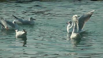 una bandada de gaviotas nadando video