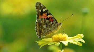 Australian Painted Lady Butterfly Collecting Pollen From Yellow Flower