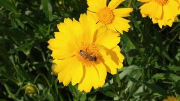 uma abelha sorvendo o néctar de uma flor bem cuidada video
