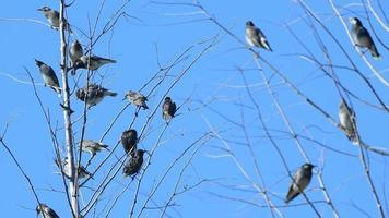 una bandada de pájaros grajo posados en ramas secas de árboles