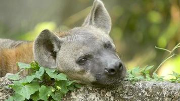 Hyena almost asleep and looking