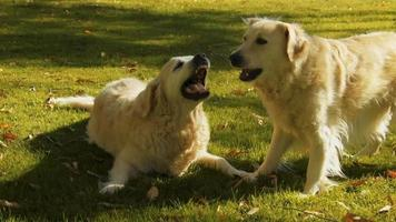 filhotes de golden retriever brincando na grama video