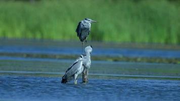 Beautiful Heron birds standing in the water