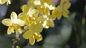 gelbe Orchideen in einem Garten video