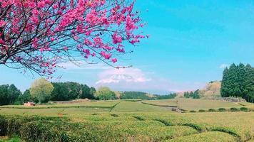 Plantación de té en la parte trasera con vistas al monte Fuji. video