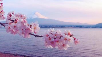 Beautiful Cherry Blossoms and Mount Fuji in Japan.