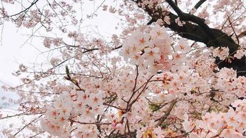 bela árvore de sakura. video