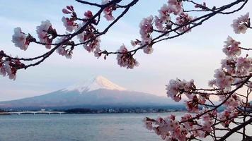 Beautiful cherry blossoms at Riverside, Behind it is Mount Fuji.