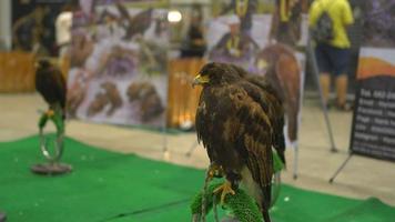halcón sentado en la percha en el centro comercial video