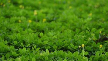 planta de amendoim pinto com flores