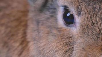 A Brown Rabbit's Eye