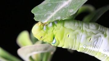 lagarta comendo um grande pedaço de folha video