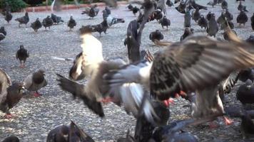una bandada de palomas alimentándose y volando video