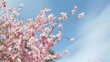 flor de cerezo y cielo