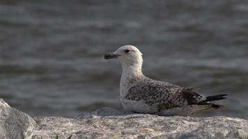 a pequena gaivota sentada em uma rocha video