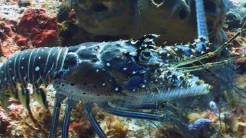 una langosta azul caminando sobre el fondo del océano