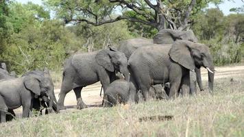 los majestuosos elefantes de chiangmai, tailandia