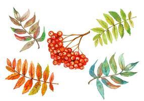 acuarela conjunto de baya de serbal y hojas de serbal vector