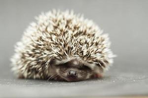 cute hedgehog rodent baby sleeping