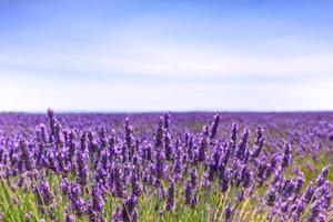 Lavender flower blooming fields horizon. Valensole Provence, Fra photo
