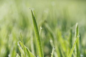 brizna de hierba y gotas de rocío foto