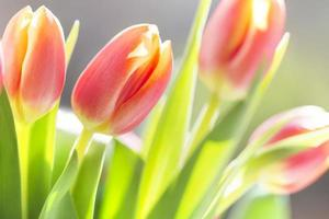 colorful tulips in sunlight