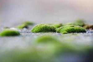 Moss clusters on the pavement photo