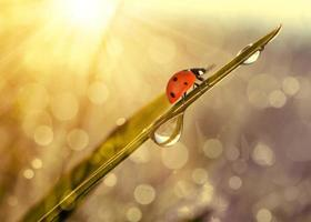 Fresh grass with dew drops and ladybug photo