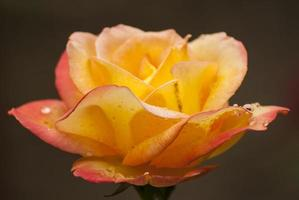 Yellow rose with droplets photo