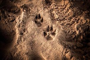 Dog's foot prints in the sand photo