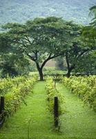 wine yard and tree