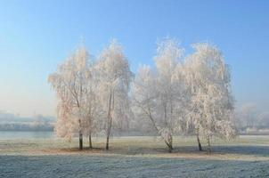 Hoarfrost on birch trees photo