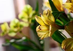 Yellow Alstroemeria photo