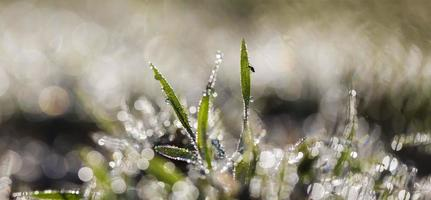 fly on the green grass in morning dew panoramic background photo
