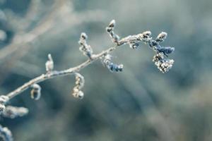 hierba helada foto