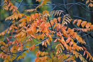 Tree branches with rusty leaves