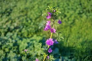 Planta con flores malva en un campo en otoño